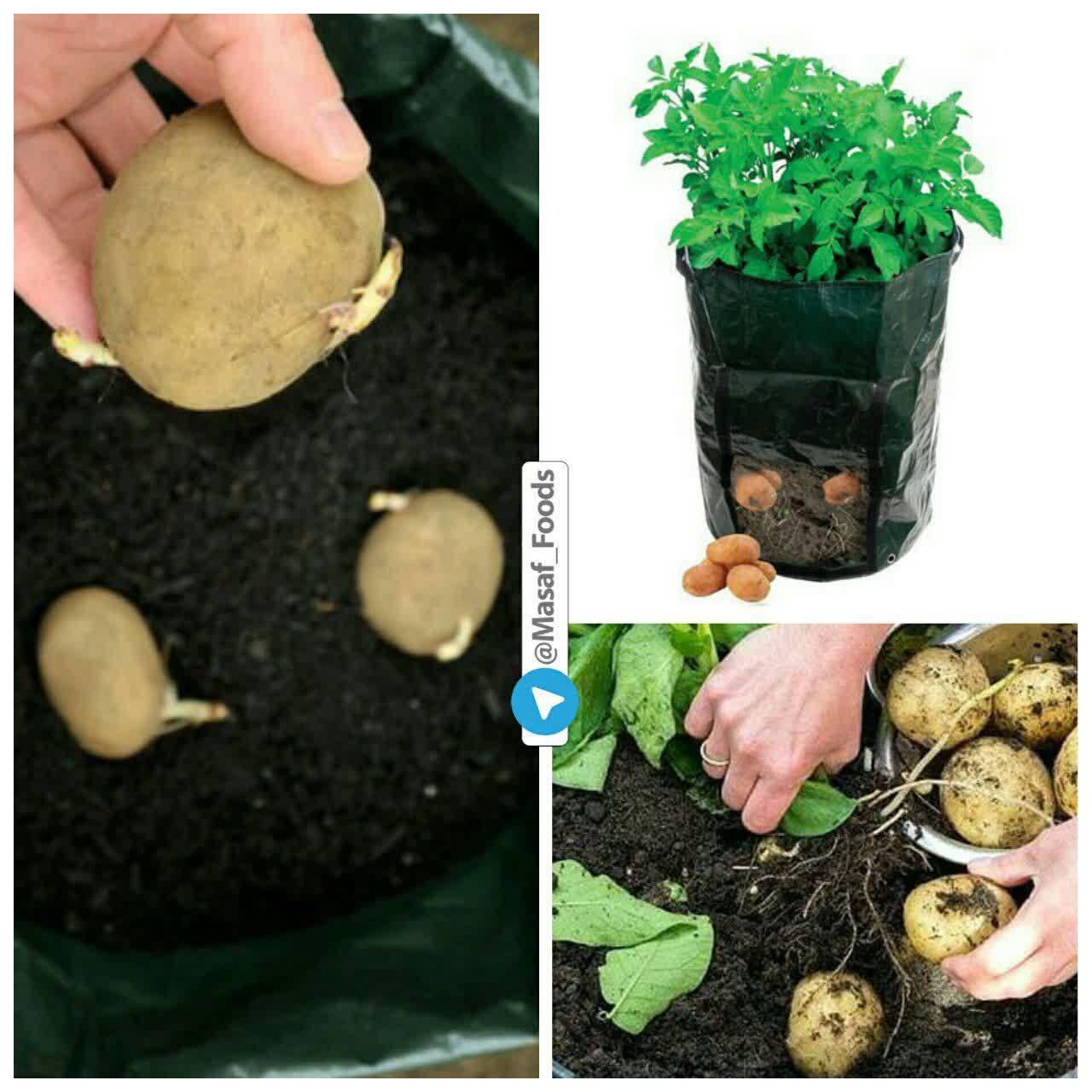 نحوه کاشت ته مانده سبزیجات در خانه