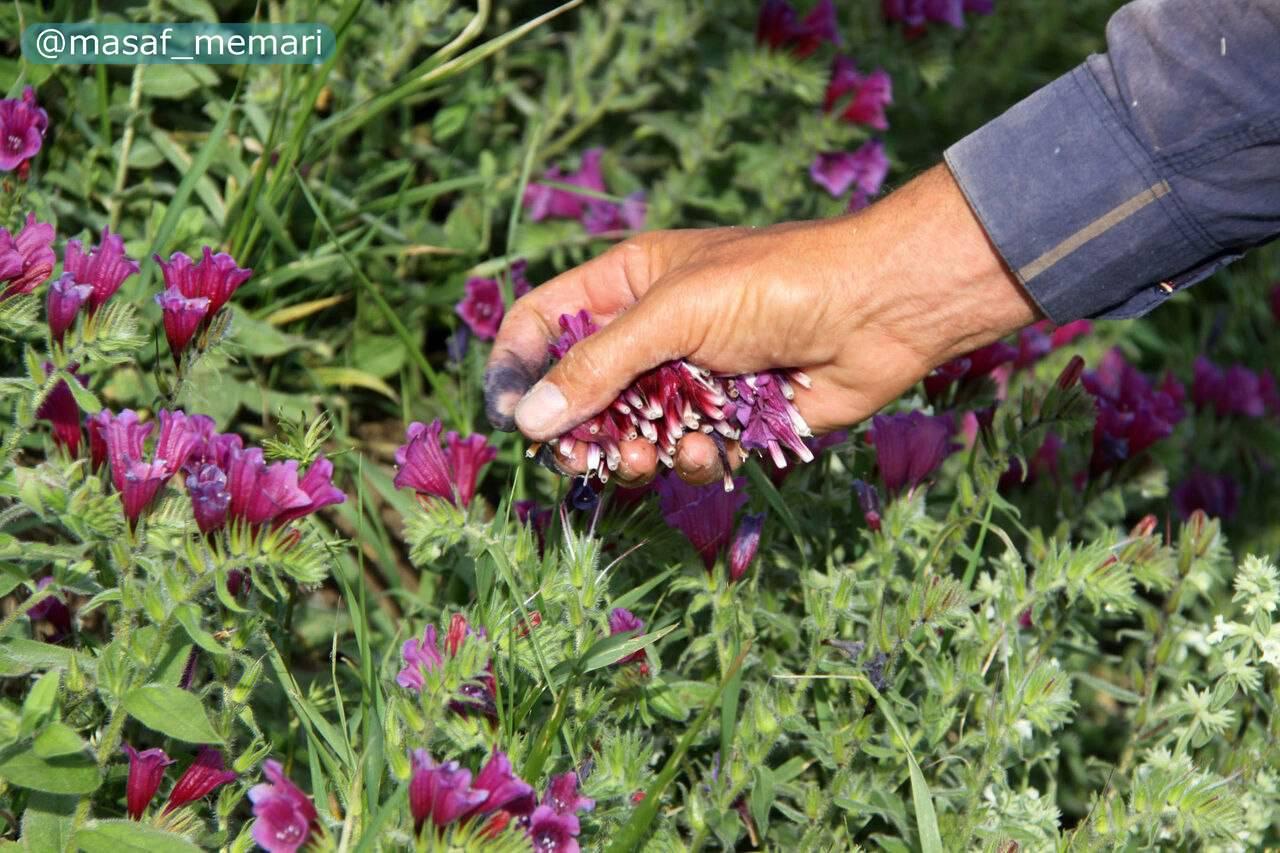 استفاده از گیاهان دارویی در طراحی فضای سبز شهری | توجه به جنبهی اقتصادی و دارویی گیاهان در ادوار گذشته