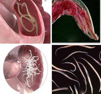 بیماری کرمک یا اُکسیور