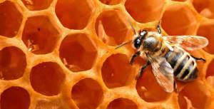 زنبور عسل :نقش گمشده آن در اقتصاد ، محیط زیست و امنیت غذایی