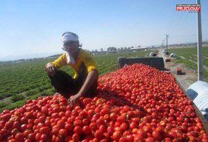 گوجه فرنگی درآشخانه در نبود الگویی مناسب برای استفاده  صنایع تبدیلی خوراک دام بود