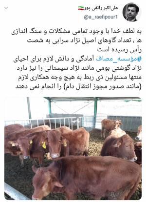 تعداد گاو های اصیل نژاد سرابی به ۶۰ راس رسید