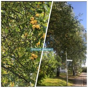 اینجا باغهای شمال نیست، درختان میوه در کنار پیاده رو سوئد است | مسئولین غربزده خوبه که تو این مواقع هم شبیه غربیا بشن!