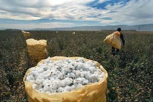 تصمیمات مشکوک در حوزه بازرگانی کشاورزی در راستای نابودی صنعت نساجی و کشت پنبه داخلی