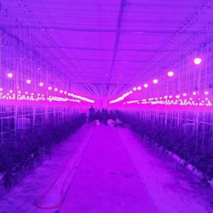 استفاده از لامپ های فتوسنتز Led برای پرورش خیار در هلند