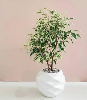 "ام فارسی: بنجامین ابلق نام علمی:Ficus benjamina  ""Variegata""  نام انگلیسی:Weeping Fig خانواده:Moraceae"