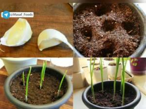 نحوه کاشت ته مانده سبزیجات در خانه / سیر و کاهو و کرفس