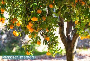 نقش درختان میوه و گیاهان مزروعی در سیاست خارجی | بی اثر شدن تهدیدات دشمنان و تحریمها