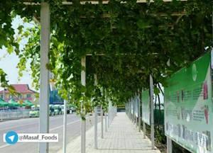 کاشت درختان مثمر در خیابانها و معابر شهرهای اروپایی و استرالیا