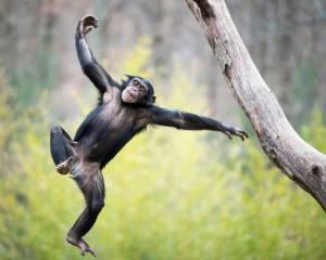 شامپانزهها با شنیدن موسیقی میرقصند
