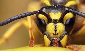 زهر زنبور عسل اقتصادی تر از نفت ؛ قيمت هر گرم  از ۱۵  تا ۱۲۰ دلار / موثر در درمان سرطان، ام اس ، آلزايمر ورماتيسم