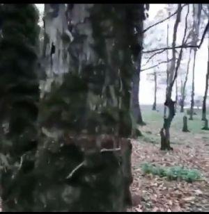 تبری کردن درختان برای قطع آنها