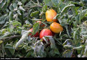 بارش تگرگ به مزارع گوجهفرنگی استان بوشهر خسارت وارد کرد