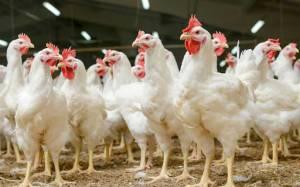 حملات پیاپی به پیکر تولید ملی/ بعد از شیرهای آلوده به سم حالا نوبت مرغهای تریاکی!