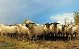 بهره گیری از گوسفندان برای بهبود خاک در مزارع تولید برق خورشیدی