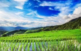 بذرهیبریدی برنج