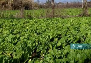 کاهوی گلستان؛ از تولید به مصرف!