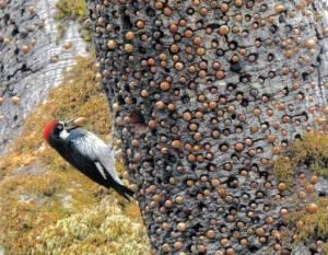 کار شگفت انگیز دارکوب ها با درختان بلوط برای  استفاده از شاخه ها و تنه درختان مرده بعنوان انبار مواد غذایی شان
