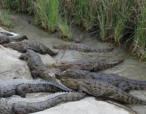 مردم سیلزده سیستان و بلوچستان مراقب تمساحها باشند!